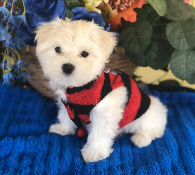 Maltese Male puppy for sale Houston