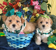 maltipoo female puppies for sale houston