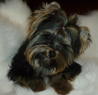 Full grown Yorkie Male Small Size Beautiful Coat