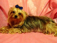 Yorkie Female Beautiful Coat