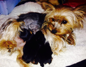 Silver yorkie with litter of pups